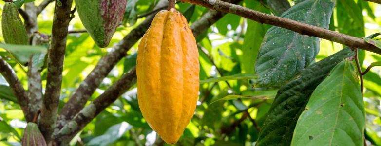 Chocola Cacaoboom - Viteau Voel je Goed - smal
