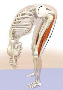 Het effect van strakke hamstrings op je onderrug - Viteau voel je goed
